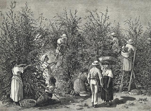 Izvorni naslov: Kava raste. 1880 Kostarika, Srednjoj Americi