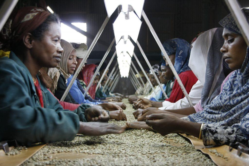 Proces uzgajanja kave