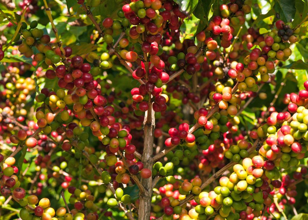 stabljika_kave